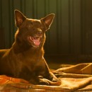 Roadshow Films to release Koko: A Red Dog Story December 5!